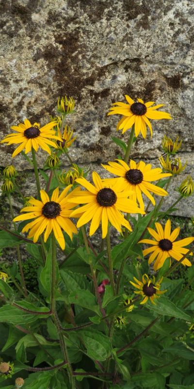 NusseyBr-Botanical-Garden-Sunflower-Wall_1