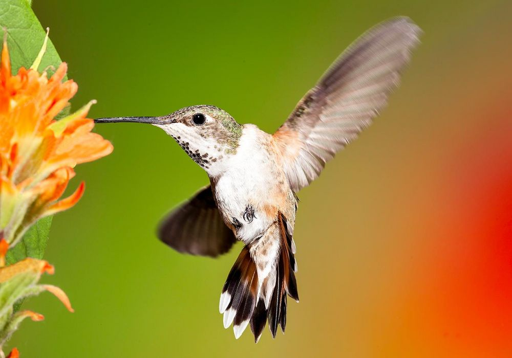 LocherDo_Hummingbird-Wing-Spread_Photo_9x15