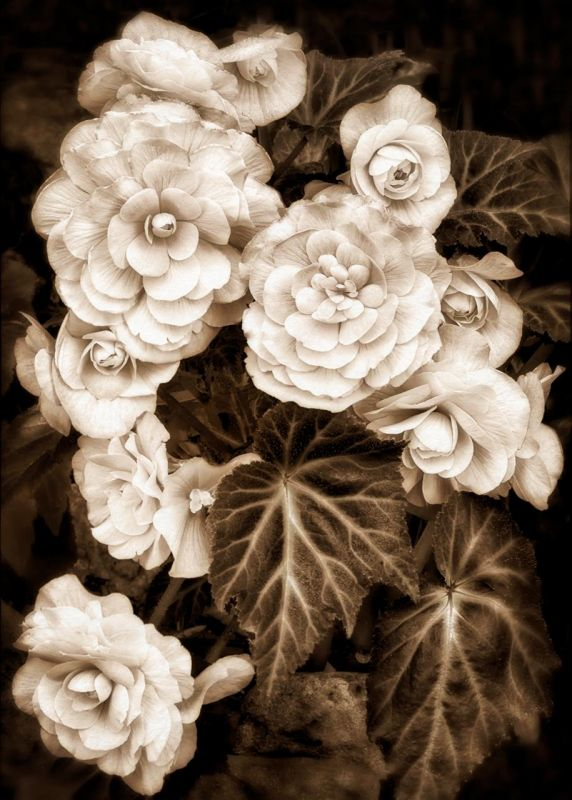 BorrelliPa_Begonia-Botanical-Garden_Photo_20x16