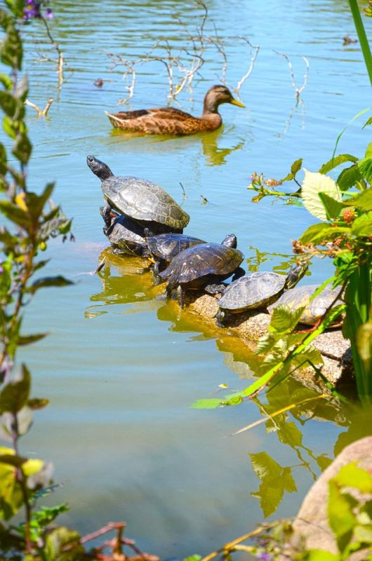 CainDe_Golden-Gate-Turtles_Photo_20x16
