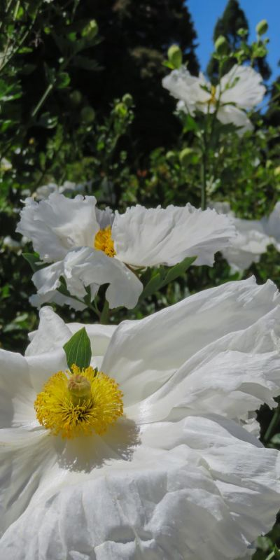 NusseyBr-Matilija-Poppies-San-Francisco-Botanical-Garden_1