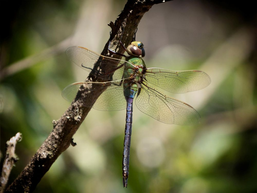 CataldoBe-Dragonfly-Design_Photo_12x16