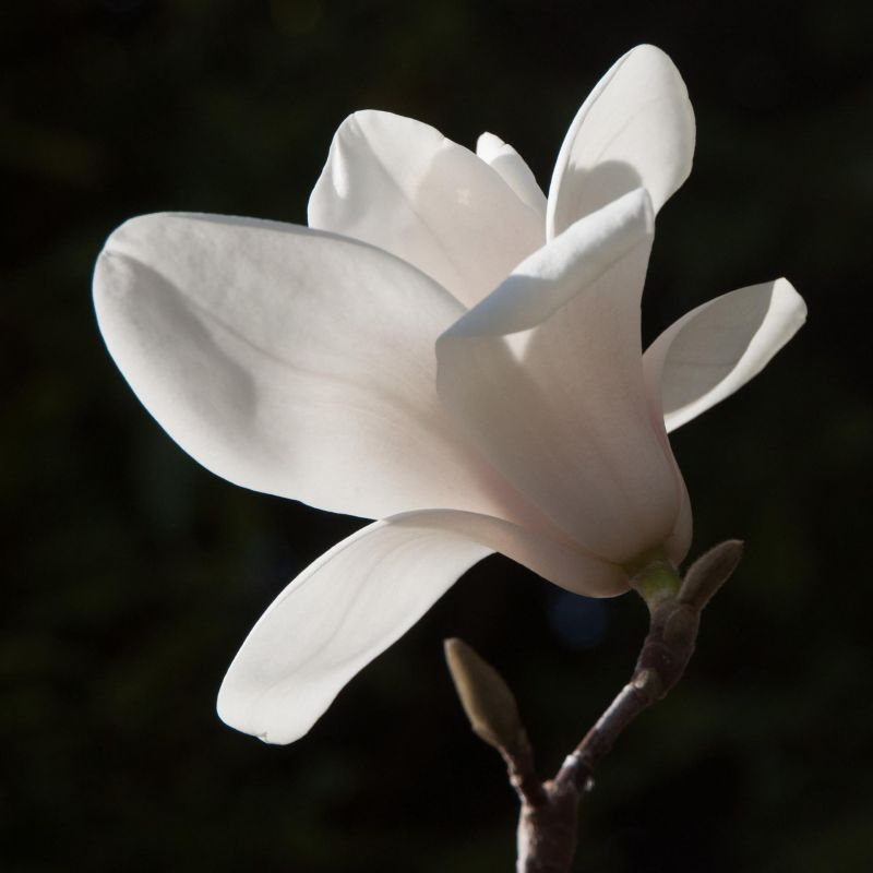 Paris-SeubertMi_Full-Bloom-Magnolia_Photo_17x17