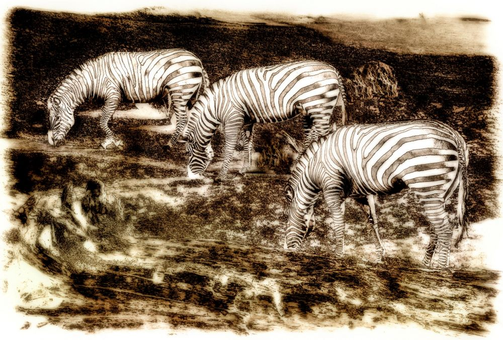 BorrelliPa-Tres-Zebra_Photo_16x24