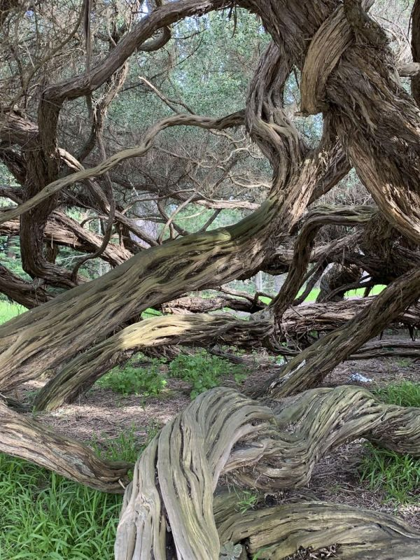 KayCh-Golden-Gate-Park-Twisted-Trees_Photo_12x16