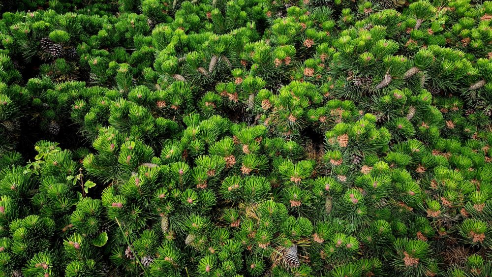 VanZandtVi-Pines-and-Cones_Photo_21x27