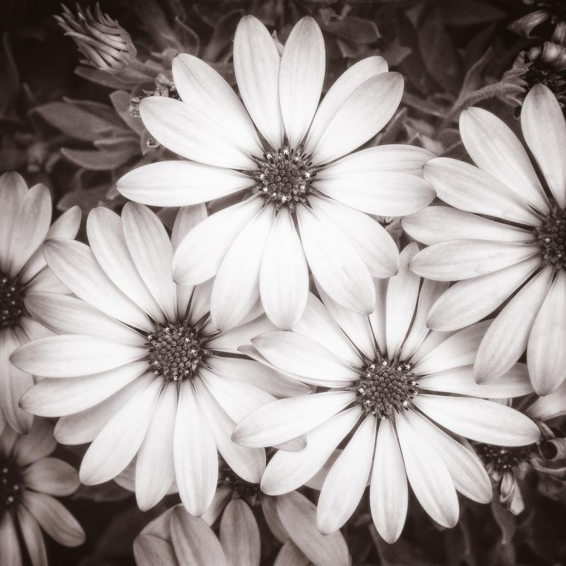 KaneSt-African-Daisies_1