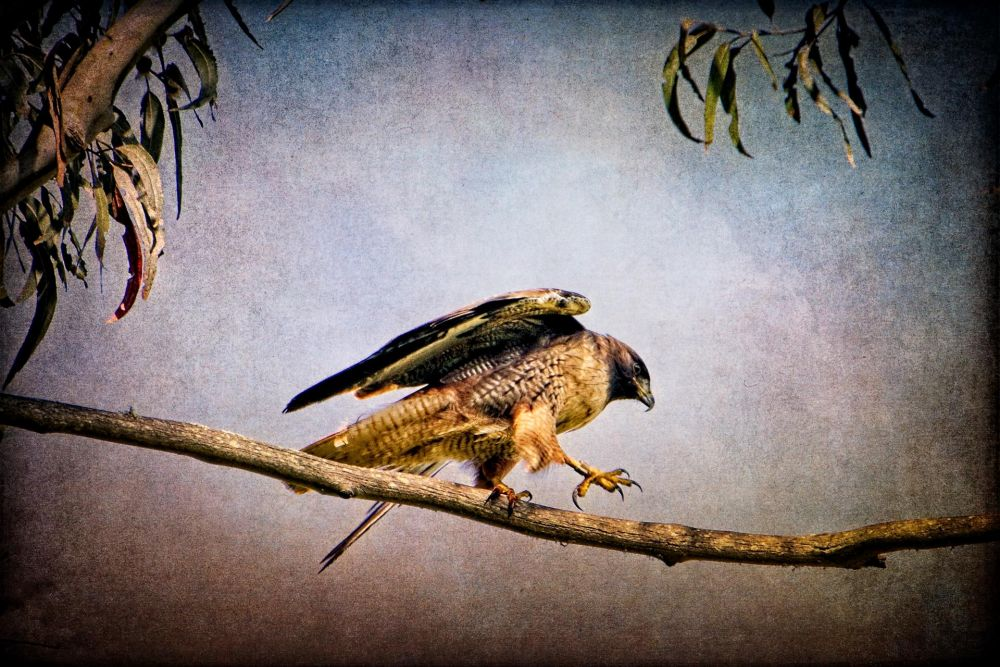 SmithDa-Red-Tail-in-the-Presidio_1