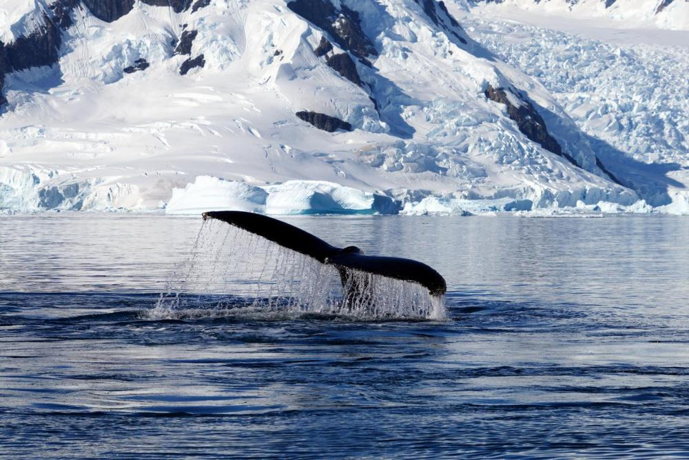 LeeCh-Whales-Tail-Antarctica_Photo_16x24