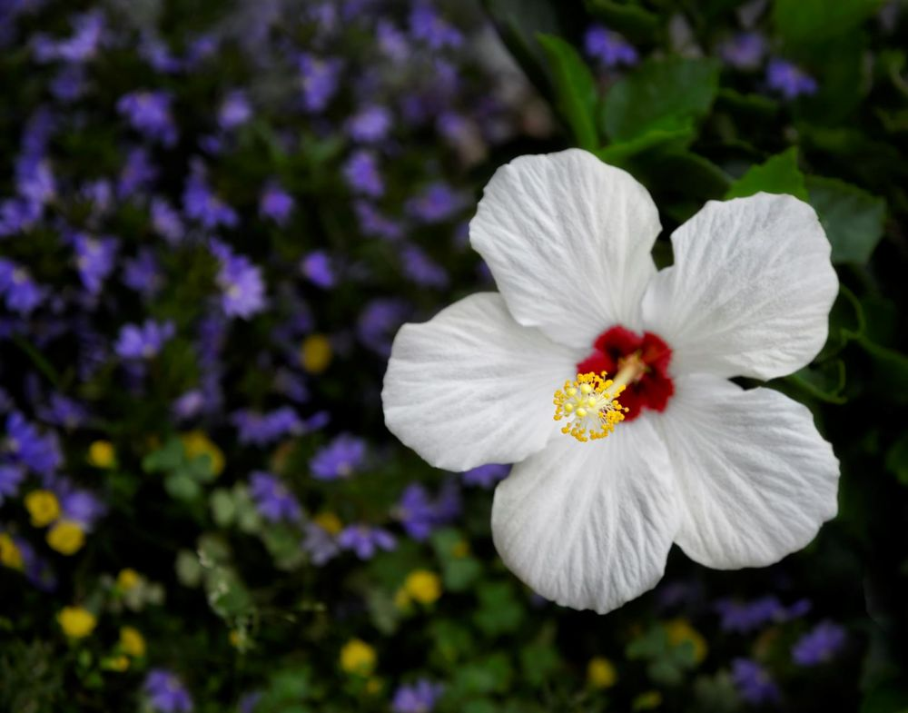 BorrelliPa-White-Hibiscus_Photo_16x20